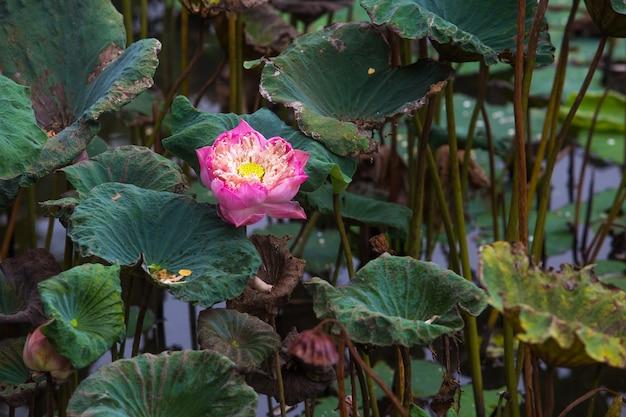 Foglia di loto rosa pieno, circondata da una foglia di loto