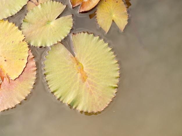 Foglia di loto verde con goccia d'acqua come sfondo.