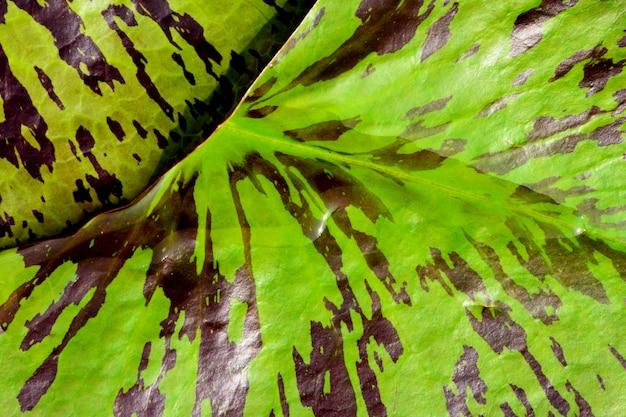 Foglia di loto verde e marrone