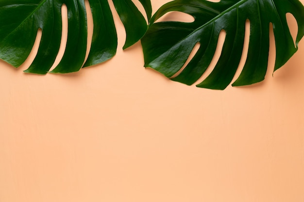 Foglia di monstera su sfondo colorato. foglia di palma, fogliame della giungla tropicale reale pianta di formaggio svizzero. vista piana e dall'alto.