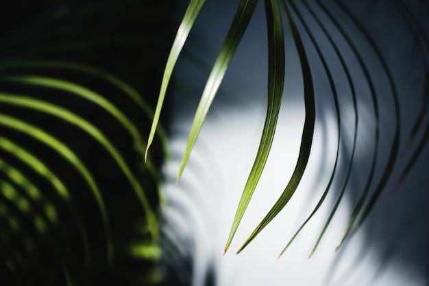 Foglia di palma areca in luce estiva. la luce del sole ha fatto ombra di fogliame ombreggiato al muro.