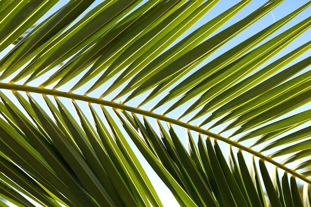 Foglia di palma da vicino