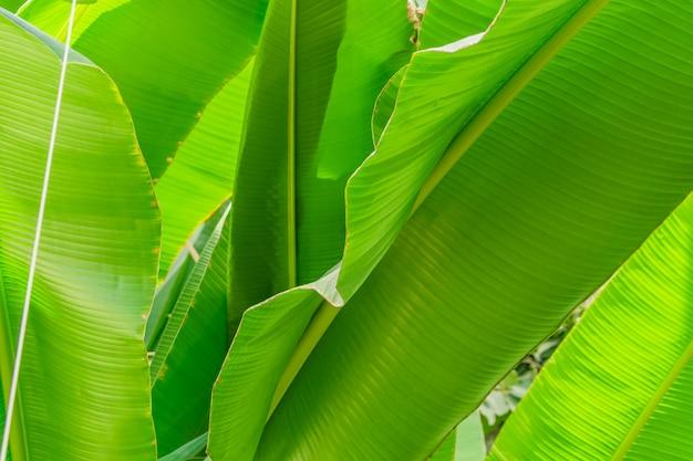 Foglia di palma sfondo. raggi di sole sulle foglie.