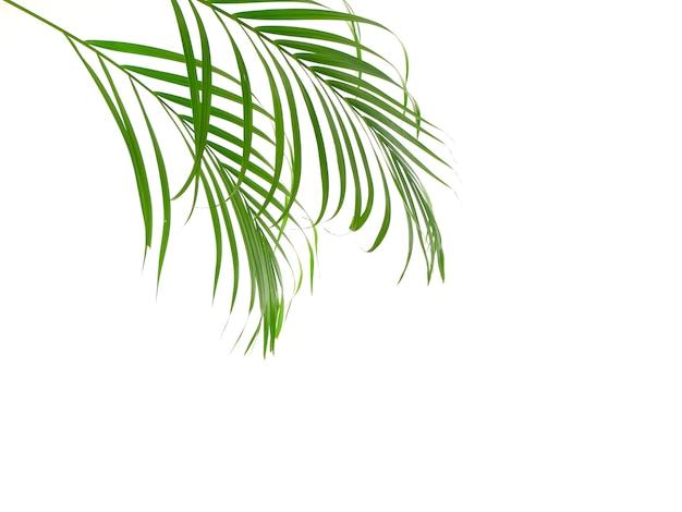 Foglia di palma tropicale su fondo bianco