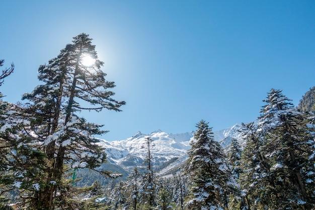 Foglia di pino con neve nella stagione invernale