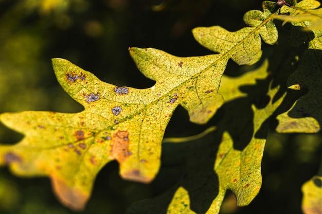 Foglia di quercia da vicino. foto d'autunno