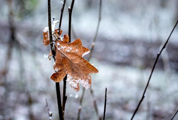 Foglia di quercia secca su un ramo in una foresta innevata in inverno