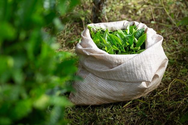 Foglia di tè verde dopo la raccolta nel sacco nei terreni agricoli.