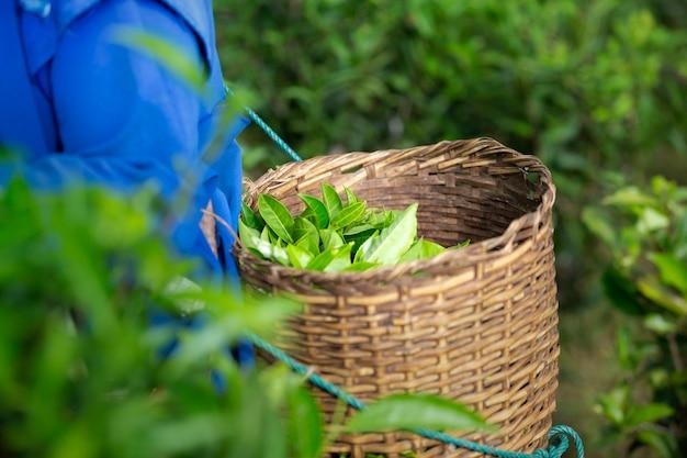 Foglia di tè verde nella tenuta di canestro di legno sulla parte posteriore del coltivatore al terreno coltivabile.