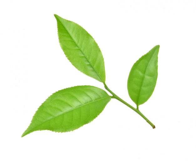 Foglia di tè verde su fondo bianco