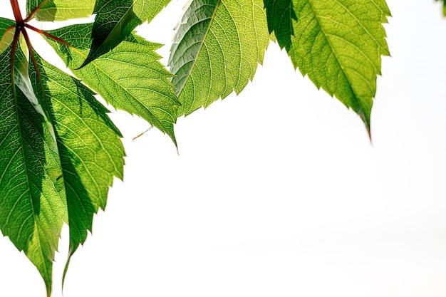 Foglia di una fanciulla d'uva con chiari dettagli di venatura. sfondo naturale
