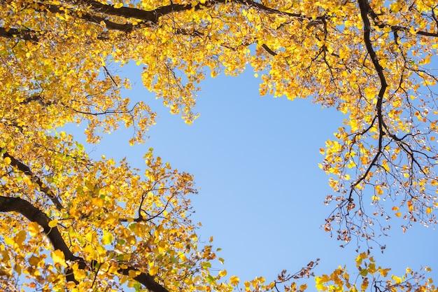 Foglia gialla dell'albero del ginkgo in cielo blu di stagione di caduta di autunno