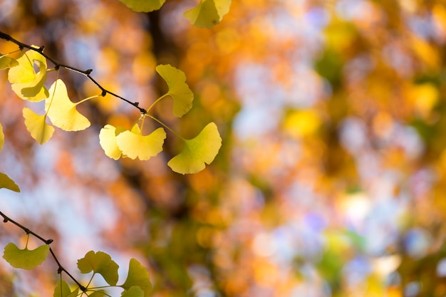 Foglia gialla dell'albero del ginkgo nella stagione di caduta di autunno