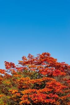 Foglia rossa di autunno e fondo del cielo blu con lo spazio della copia per la vostra progettazione.