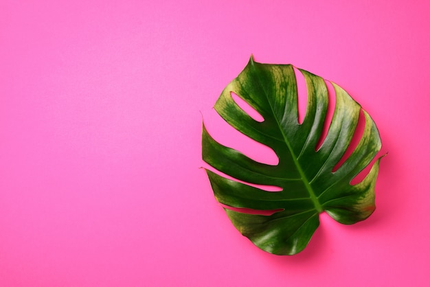 Foglia tropicale di monstera su fondo rosa. concetto di estate