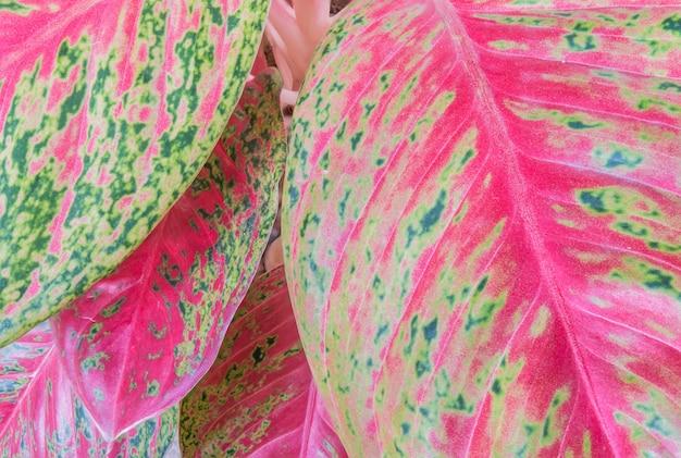 Foglia variopinta del primo piano della pianta nel fondo del giardino