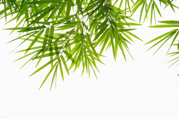 Foglia verde bambù isolare