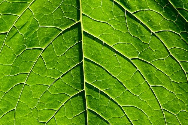 Foglia verde con venature della pianta del primo piano. sfondo naturale