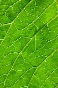 Foglia verde del primo piano di una pianta con le vene. consistenza naturale, sfondo