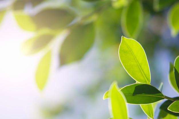 Foglia verde del primo piano in natura con sole