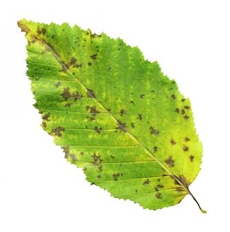 Foglia verde dell'olmo isolata contro una priorità bassa bianca