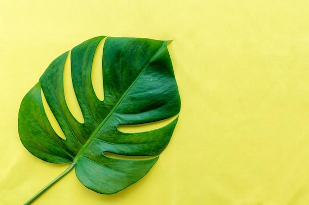 Foglia verde della pianta del filodendro di monstera su fondo giallo.