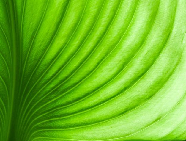 Foglia verde delle belle vene verdi con luce solare nella foresta o nel giardino per fondo.