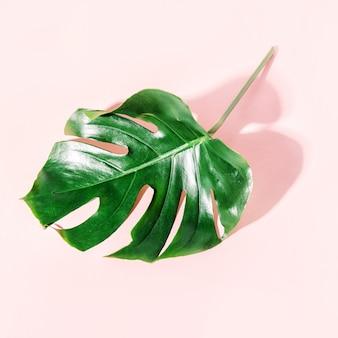 Foglia verde di monstera sul rosa