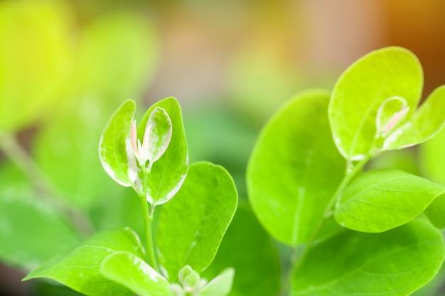 Foglia verde e luce solare del primo piano nel giardino su fondo vago.
