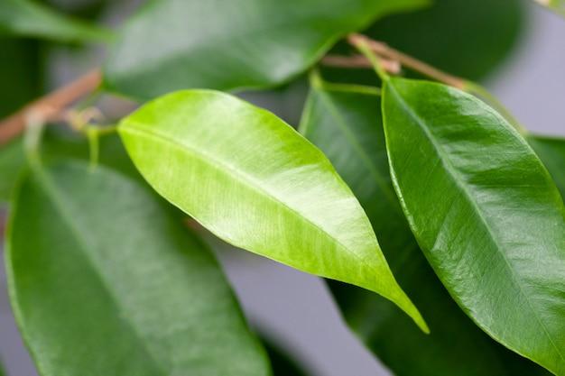Foglia verde houseplant giovane verde chiaro sul ramo. pianta tropicale interna.