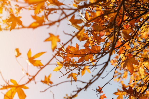 Fogliame autunnale, vecchie foglie di acero arancio, fogliame secco di alberi, soft focus, stagione autunnale, cambiamento di natura, luce solare morbida e brillante