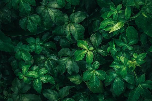 Fogliame della foglia tropicale in verde scuro con goccia dell'acqua piovana su struttura, fondo astratto della natura del modello.