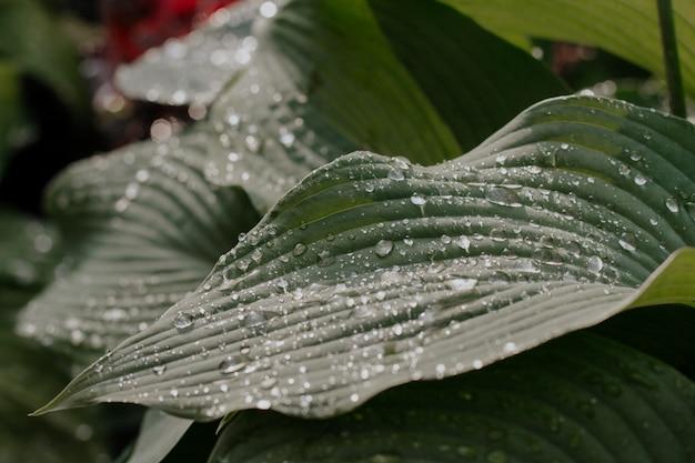 Foglie bagnate dell'ospite dopo la pioggia.