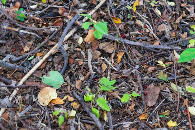 Foglie cadute, rami secchi, aghi sul terreno in una foresta estiva.