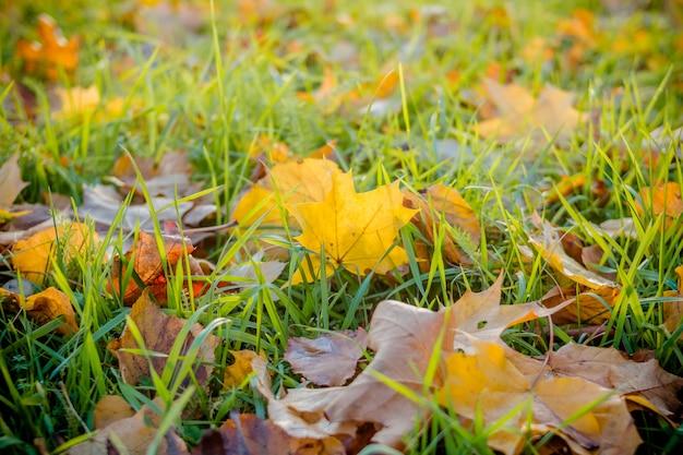 Foglie colorate d'autunnali sul terreno.