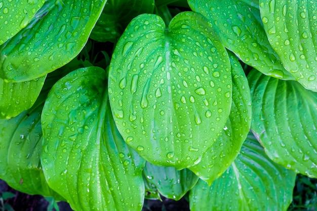 Foglie delicatamente verdi di hosta con gocce di rugiada
