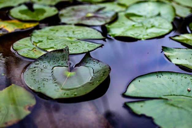 Foglie della ninfea in lago