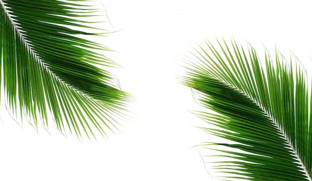 Foglie della noce di cocco della palma dei gemelli su fondo bianco