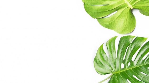 Foglie della pianta di monstera su fondo bianco