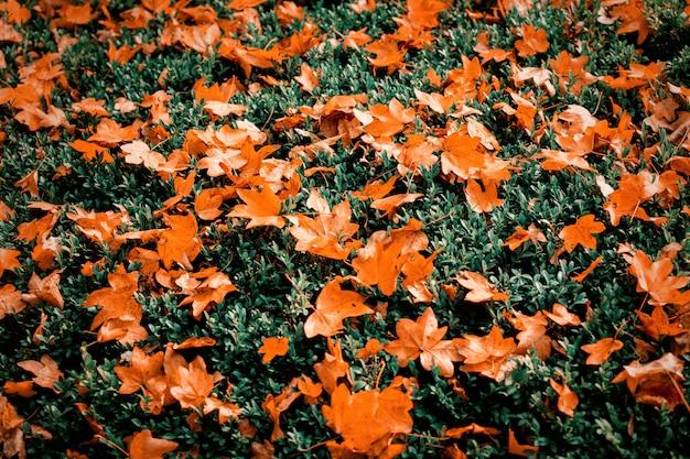 Foglie di acero arancione sul cespuglio verde.