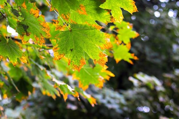 Foglie di acero di autunno su uno sfondo scuro ombreggiato