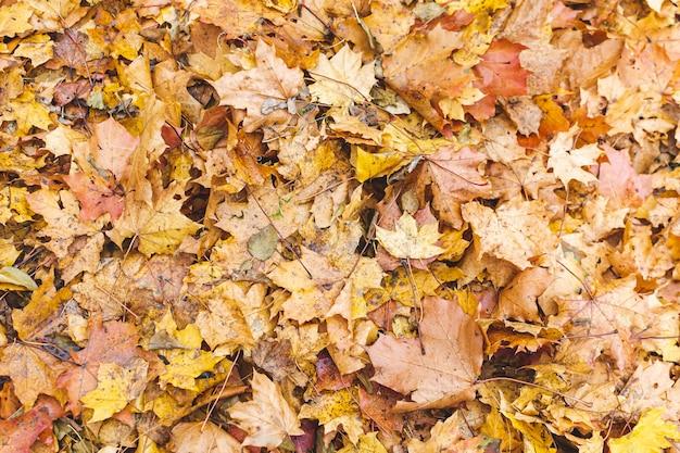 Foglie di acero gialle con il fondo dell'erba verde, autumn time dorato, caduta