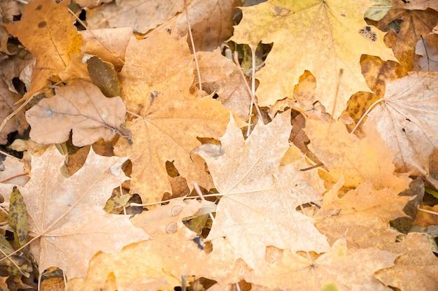 Foglie di acero gialle immagine di sfondo. la trama delle foglie