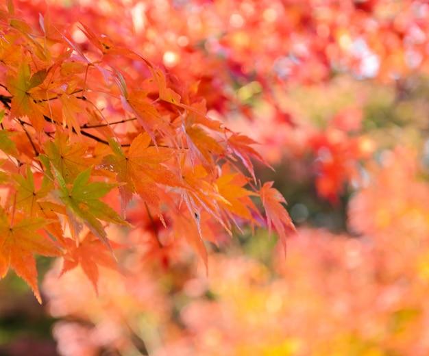 Foglie di acero rosse d'autunno
