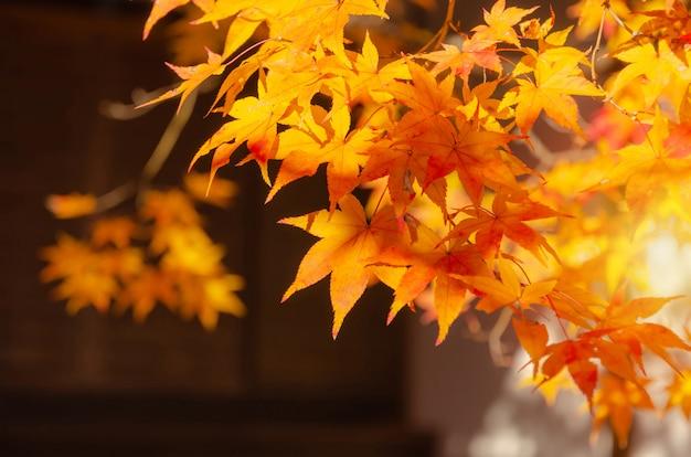 Foglie di acero rosse e gialle variopinte di bello autunno con fondo vago e durante l'alba alla mattina nella stagione di autunno