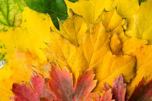 Foglie di acero rosse e verdi gialle con il fondo del primo piano di pendenza