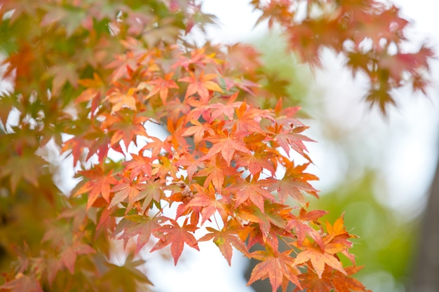 Foglie di acero rosso con sfondo sfocato. giappone stagione autunnale