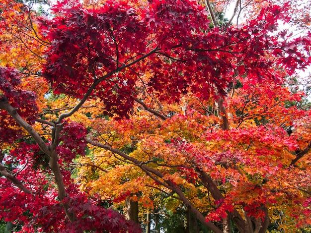 Foglie di acero rosso sull'acero in autunno