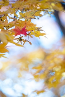 Foglie di acero variopinte di autunno su luce naturale per fondo.