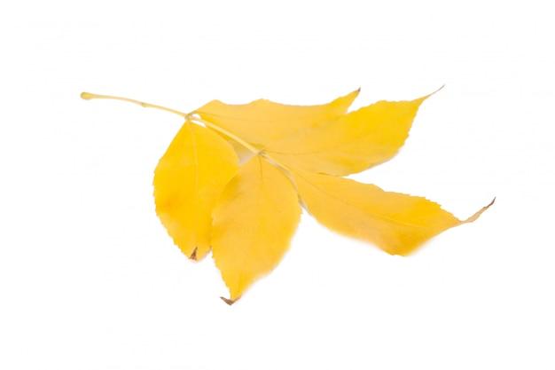Foglie di autunno arancio isolate su fondo bianco